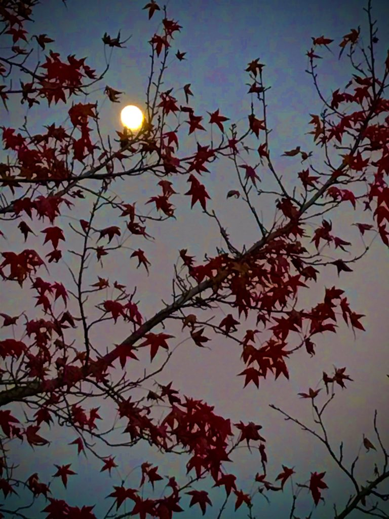 A moon nearing the full rises behind the red leaves of a fall tree.  Photo by Anna Loscotoff, Nov 2020